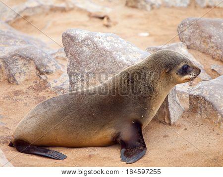 Baby brown fur seal, Arctocephalus pusillus, lying on the rock, Cape Cross Colony, Skeleton Coast, Namibia, Africa.