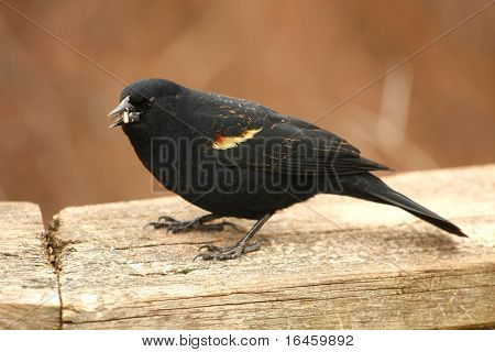 Red-winged Blackbird Agelaius phoeniceus