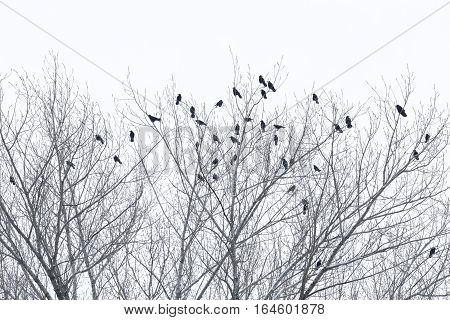Ravens sitting on a tree in Winter