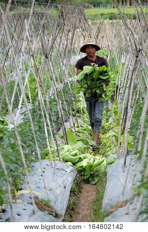 Vietnamese Farmer Harvesting Mustard Greens