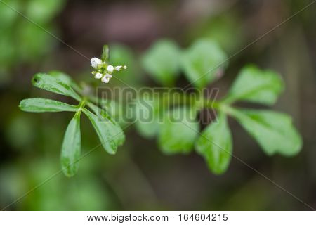Hairy bittercress (Cardamine hirsuta) flowers and leaves. Common weed and bitter edible herb in the mustard family (Brassicaceae)