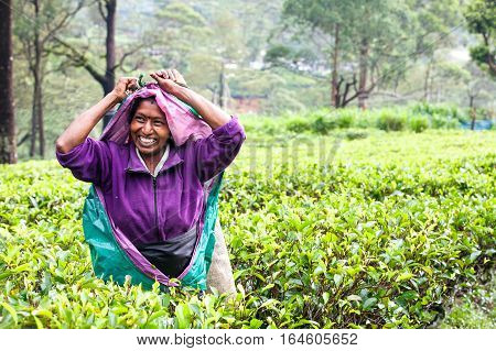NUWARA ELIYA, SRI LANKA - July 25, 2016: Woman working on Sri Lankan tea plantation. A smiling woman from Nuwara Eliya is picking tea leaves at a plantation in Sri Lanka.