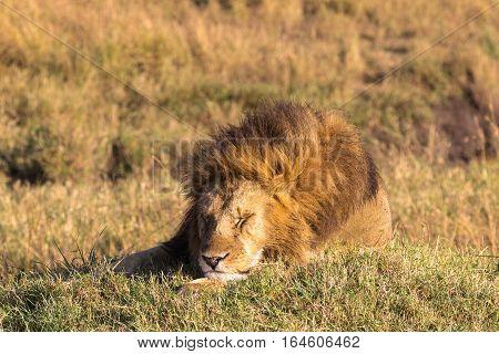 Lion sleeps soundly. King of beasts resting. Masai Mara, Africa