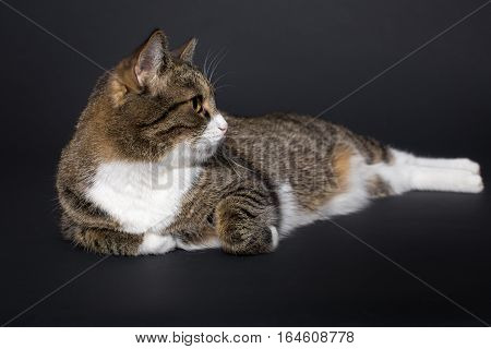 Large grey cat lying on black background
