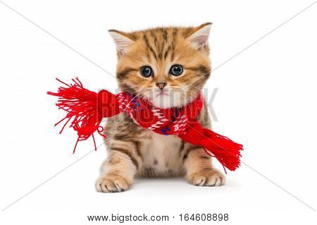 Little kitten British marble in a red scarf isolated on white.
