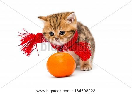 Little kitten British marbled in a red scarf and a tangerine isolated on white.