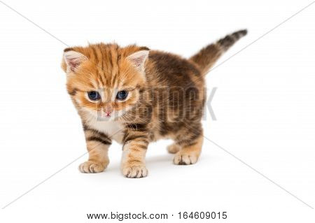 Small striped kitten breed British marbled isolated on white
