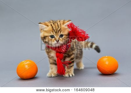 Little kitten British marbled in a red scarf with tangerines