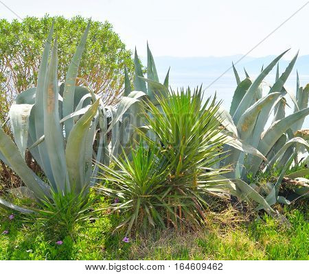 View of cactus plant on Crete island Greece.