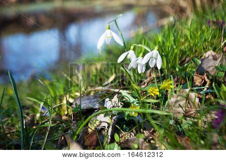 Small spring flowers snowdrops grow outdoors in nature