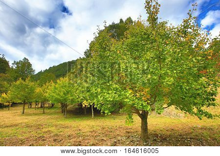 Beautiful scenery of green with yellow Ginkgo trees in autumn,Maidenhair trees