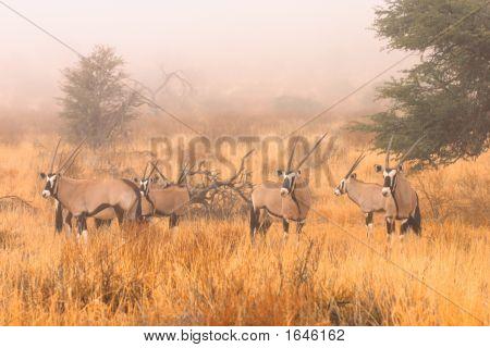 Gemsbok In Mist