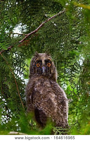 A Tawny Owl hides in a tree and foliage