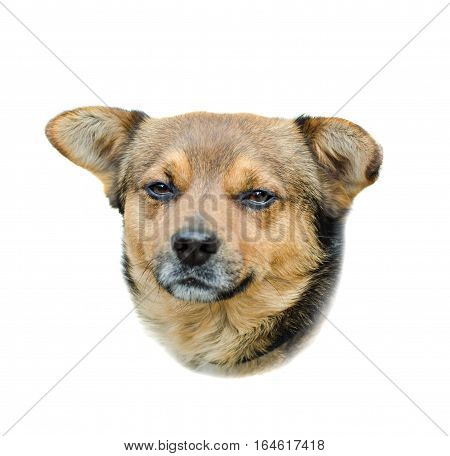 Head of a brown stray dog portrait close up brown fur isolated on a white background.