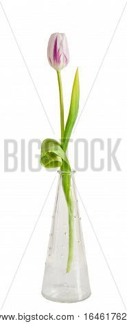 Light Mauve With Stripes Tulip Flower In A Transparent Vase, Isolated On White Background.