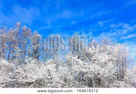 Sun In Winter Forest Trees Covered With Snow