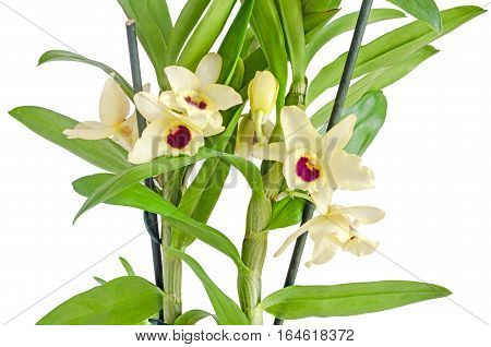 Yellow Dendrobium Nobile Flowers, Branch, Green Leaves, Plant, Close Up, White Background.