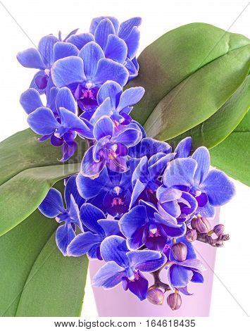 Blue Orchids Flowers, Orchidaceae, Phalaenopsis Known As The Moth Orchid, Abbreviated Phal. White Ba