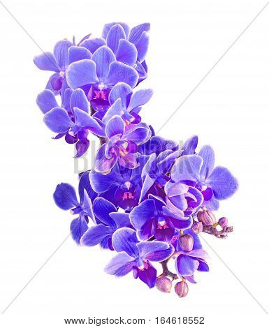 Blue, Mauve Orchids Flowers, Macro, Close Up, Orchidaceae, Phalaenopsis Known As The Moth Orchid, Ab