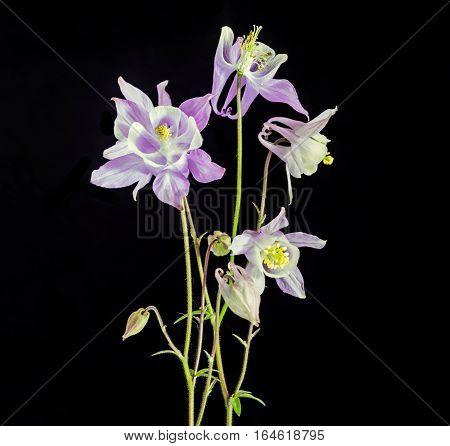 Violet Aquilegia (columbine) Flabellata, Common Name Fan Columbine, Dwarf Columbine, Caldarusa, Fami