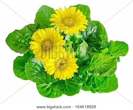 Yellow Gerbera Flowers, Green Leaves, Close Up, Isolated On White Background.
