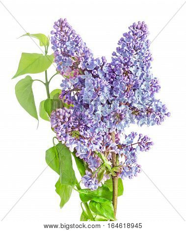 Blue, Mauve Syringa Vulgaris (lilac Or Common Lilac), Family Oleaceae, Close Up, White Background