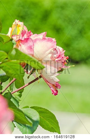 White And Pink Bush Rose Flowers With Buds, Green Bokeh Background, Outdoor, Close Up.