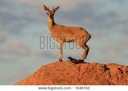 Klipspringer Male On A Rock