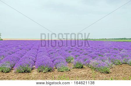 Balchik, Bulgaria - June 20, 2016. Field Of Mauve, Purple Lavandula Angustifolia, Lavender, Most Com