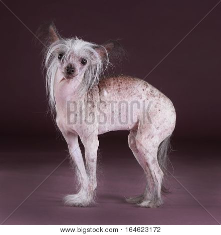 Crested chinese dog portrait in studio with purple background