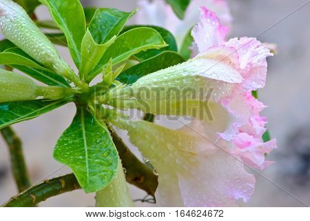 Adenium Pink flowers with water drops on nature
