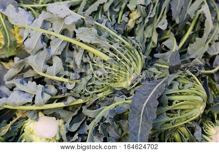 Genuine Original Green Broccoli Northern Italy Called Broccolo F