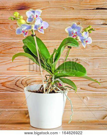 Mauve Orchid Flowers, Red Pistils, White Vase