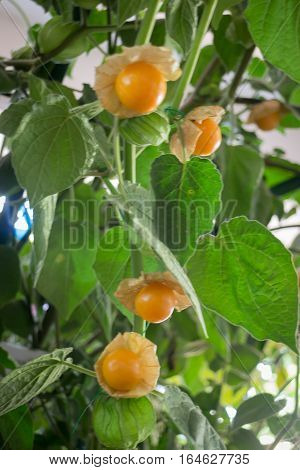 Cape gooseberry (Physalis Peruviana) plant at food festival stock photo