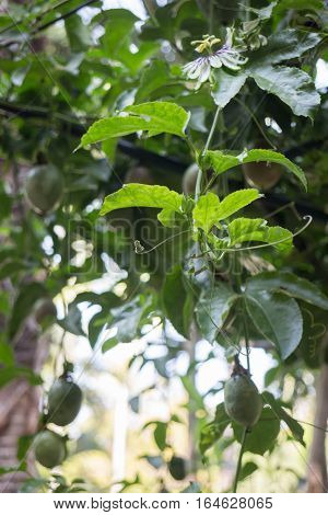 Passion fruit growing on the vine stock photo