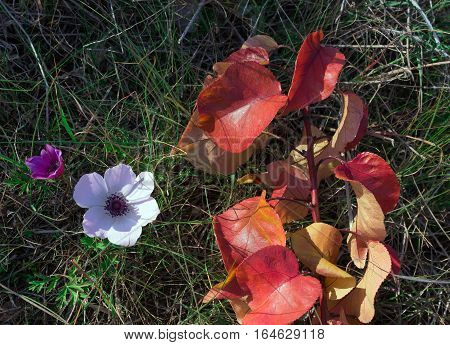 Autumn flowers (Anémone nemorósa) against the background of branches with red leaves. Greece.