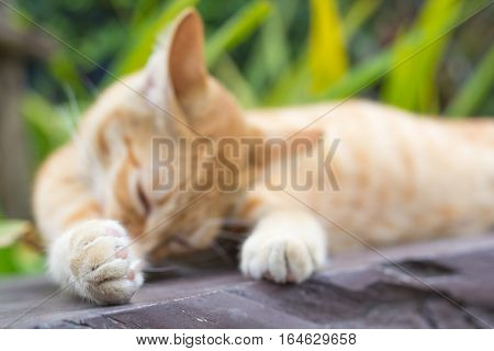 Paws cat close-up, Thailand Cat lethargic. Cute cat, cat lying on the wooden floor in the background blurred close up playful cats, cats relaxing vacation.