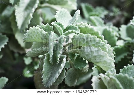 Ajwain, ajowan Trachyspermum ammi, also known as Ajowan caraway, bishop's weed or carom, is an annual herb in the family Apiaceae. It originated in India and Pakistan.