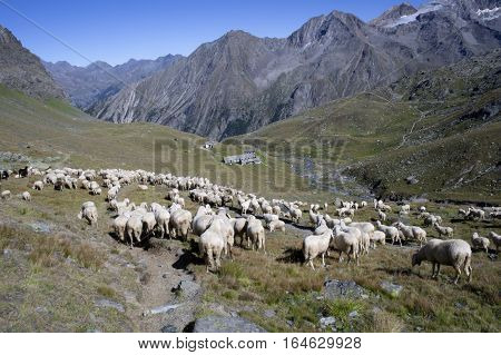 a flock of sheeps in gran paradiso national park