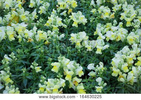 Pretty little yellow flower in the garden stock photo