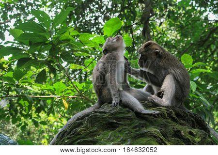 Monkey grooming fellow monkey on a rock  at Ubud, Bali, Indonesia.