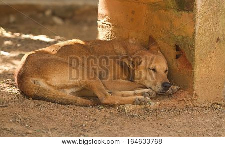 photo of a sleeping feral dog in India