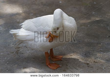 photo study of a preening white goose