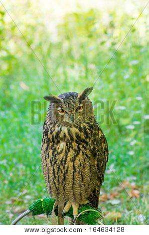 Close-up of Eurasian eagle owl in the Natural park of Monasterio de Piedra in Nuevalos, Zaragoza, Spain