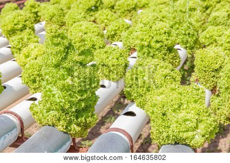 Row of planting of Hydroponics green salad vegetables hydroponics farm of growing vegetables using nutrient solutions in water without soil.