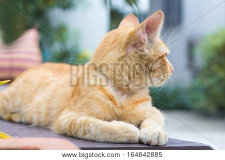 orange cat look some thing. Cute cat cat lying on the wooden floor in the background blurred close up playful cats cats relaxing vacation.