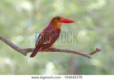 Ruddy Kingfisher Halcyon coromanda Birds of Thailand