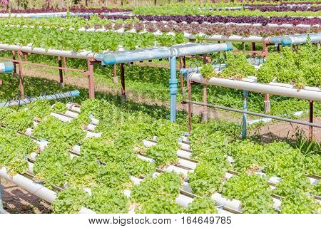 Colorful salad vegetables growing in outdoor garden hydroponics system of growing vegetables using nutrient solutions in water without soil.