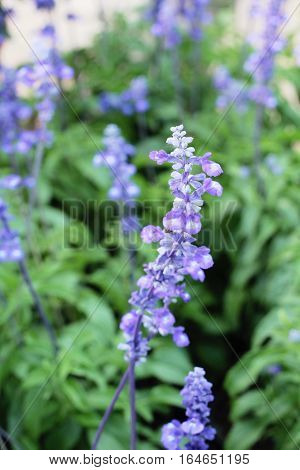 Purple salvia flowers at beautiful in garden