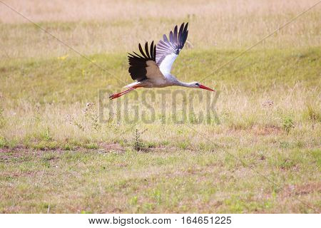 Flying white stork. Spread out wings. White Stork in flight